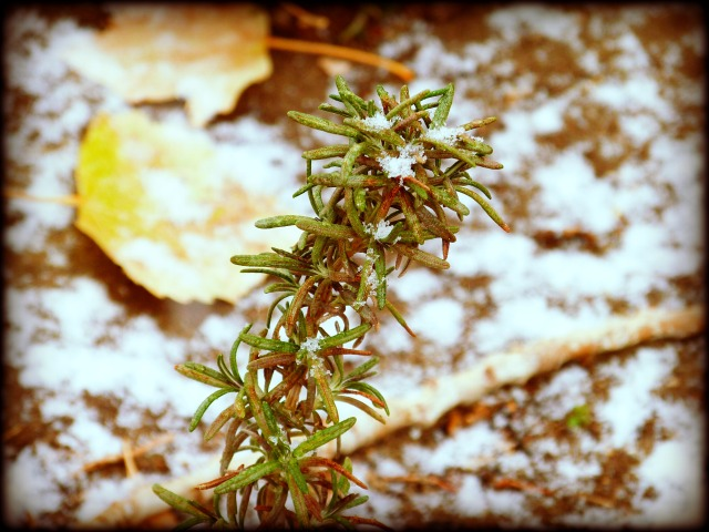 Rosemary and Snow