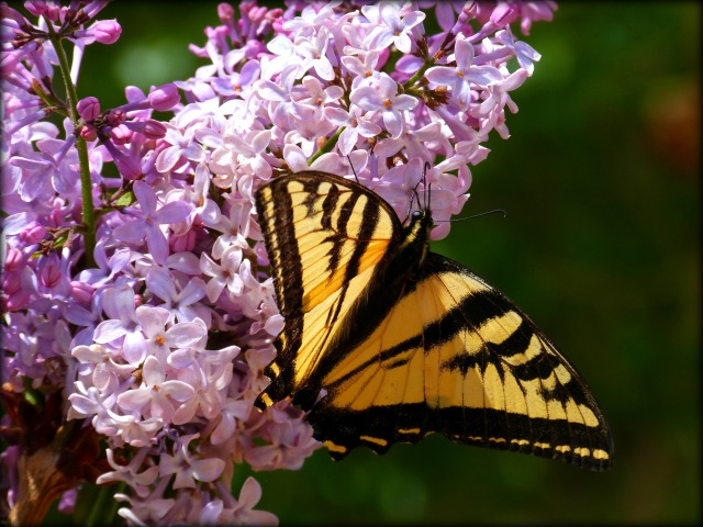 Butterfly and Lilac