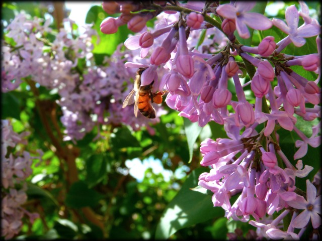 Honey Bee and Lilacs